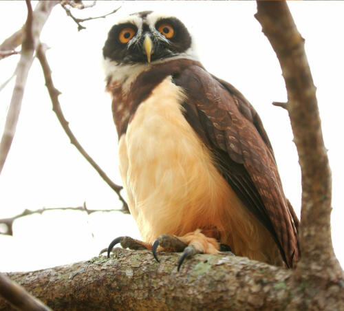 Spectacled Owl (Pulsatrix)